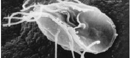 Giardia, un flagelado parásito muy próximo al antepasado común de todos los eucariontes